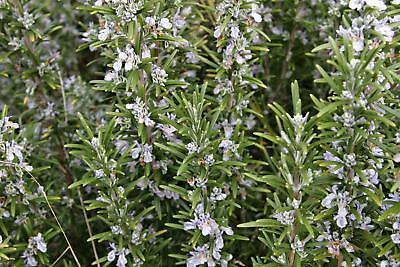 Rosemary Herb Plants in 9cm and 13cm Pots