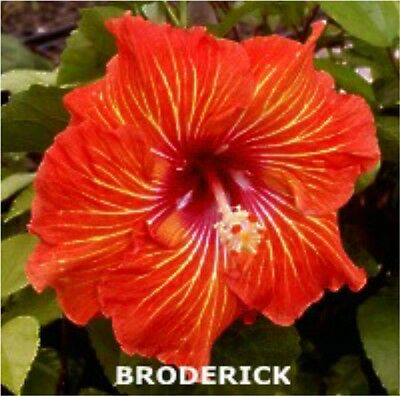 Hibiscus Plant X1  Exotic Evergreen Tropical Hawaiian Flower Plants Broderick