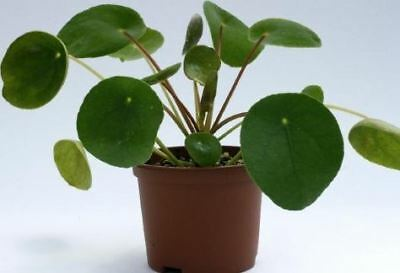 Pilea Peperomoides Plant in a 13cm Pot.  Chinese Money Plant