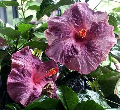 Hibiscus rosa-sinensis 'Berried Treasure' x 1 young plant. Not for NT