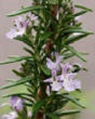 Hardy Rosemary Herb Perennial Starter Plant
