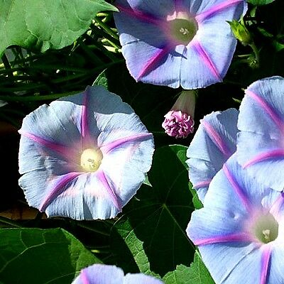 "Morning Glory ""Blue Star"" (Ipomoea purpurea) x 20 seeds."