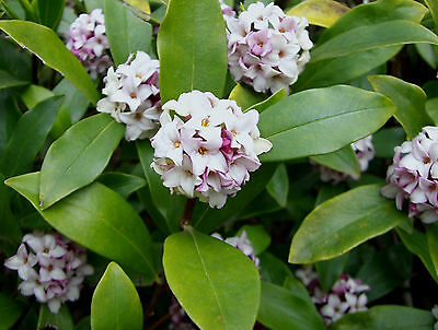 3 lovely scented Daphne flowering garden plant shrub pot shade