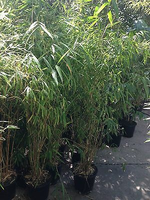 Nepalese Blue  Bamboo plants 250mm pots 1.8mt high