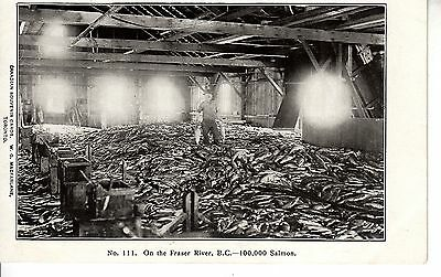 BV30.Private Mailing Card.On the Fraser River, BC, Canada.100,000 Salmon