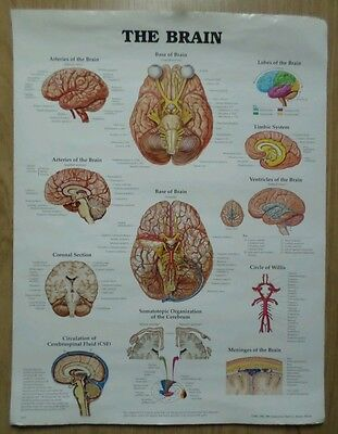 """Vintage Large Anatomical Chart, """"the Brain"""".1996."""