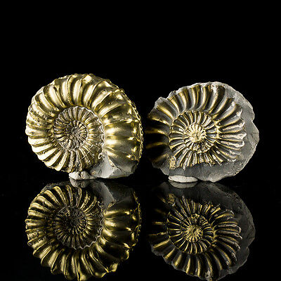 """2.3"""" Spiraling Golden FOSSIL PYRITIZED AMMONITE BothHalves Rare Germany for sale"""