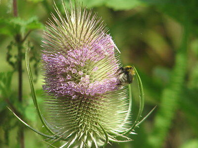 6 small Goldfinch-Loving Teasel Plants of 8cm pot size