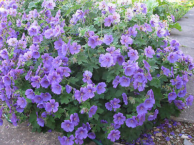 12 x Geranium x magnificum, clump-forming with prolific flowers,Hardy Perennial