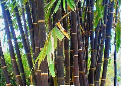 100+ Fresh Black Bamboo Seeds with Instructions - Phyllostachys Nigra
