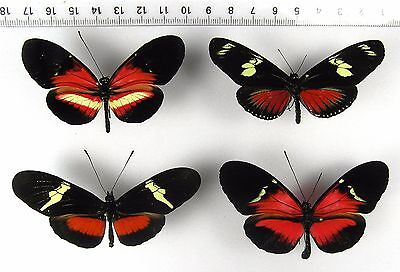 ++++++++++++ INSEKTEN, SCHMETTERLINGE: 4 x HELICONIUS sp. MIX +++++++++++++