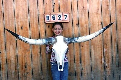 "Steer Skull Long Horns 5' 0"" Cow Bull Taxidermy Longhorn H8627"