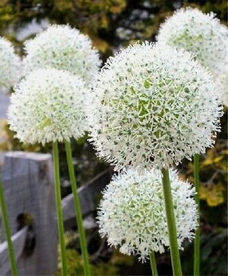 30 white seeds onion Allium giant flower