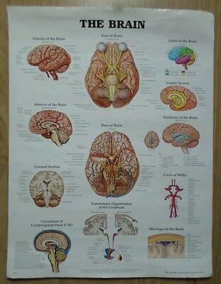 "Vintage Large Anatomical Chart, ""the Brain"".1996."