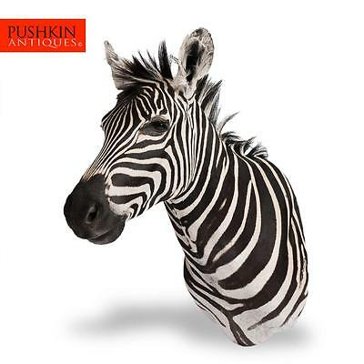 Rare African Taxidermy Large Burchell Zebra Head