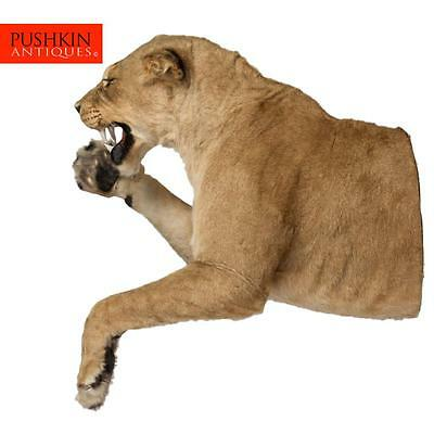 Rare African Lioness Half Mount Taxidermy