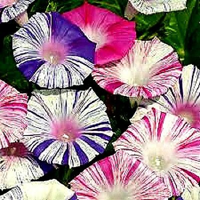 Morning Glory 'Carnevale di Venezia' (Ipomoea purpurea) x 10 seeds