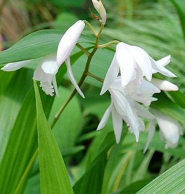 China Freiland Orchidee Alba - Bletilla striata