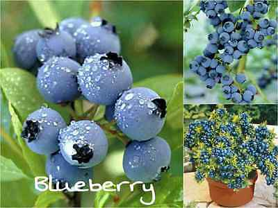 10 ORGANIC BLUEBERRY Seeds (Vaccinium Corymbosu) Sweet Fruit Garden Shrub