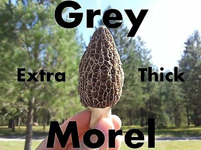 Dried Grey Morel Mushrooms 2oz ~ 1lb Fresh Restaurant Grade Top Quality