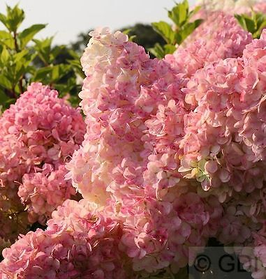 freiland hortensien vanille fraise 3 liter topf hydrangea. Black Bedroom Furniture Sets. Home Design Ideas