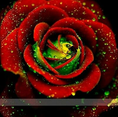 10 x Red and Green Rose Seeds !! Free Fast Sydney Shipping