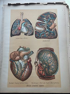 Rare Early Medical Book Color Illustration- Human Internal Organs- Brilliant