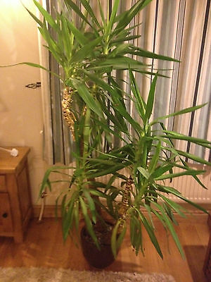 Large Yucca Plant in pot