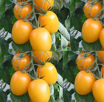 TOMATO Golden Roma 25 seeds vegetable garden Heirloom NON GMO open polinated