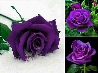 10 x Purple Rose Seeds!! Free Fast Sydney Shipping