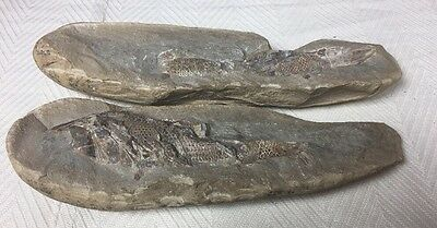 FOSSIL Fish From BRAZIL, Rock Stone Scales