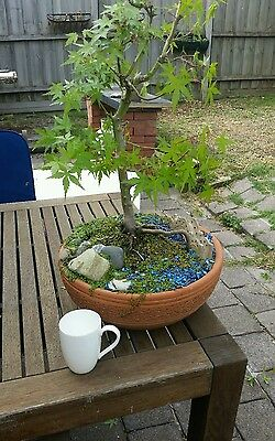 Bonsai, Japanese Maple, large, hardy, approx 10 years,excell. Xmas present
