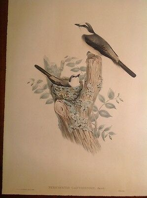 John Gould And Richter Hand Colored Lithograph Flycatcher