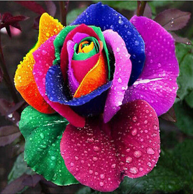 200pcs Rare Holland Colorful Rainbow Rose Flower Seeds Home Garden Plants Decor