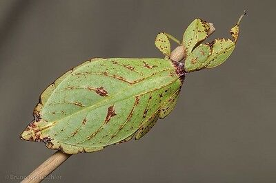 30 Phyllium Hausleithneri Leaf insect Eggs