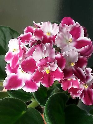 """African  violet """" CHERRY ORCHARD  """" /Russian variety /Starter/. NOT IN BLOOM"""