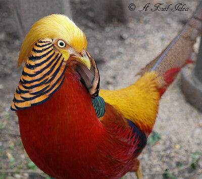 **Pre Sale** 6+ Red Golden Pheasant hatching eggs. NPIP Aviary