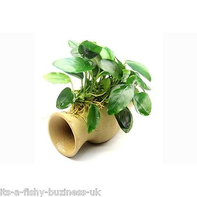 Anubias nana Catfish Pleco Cave Amphora with Live Plants