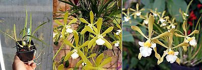 Encyclia tampense hybride, Orchidée, Orchid,