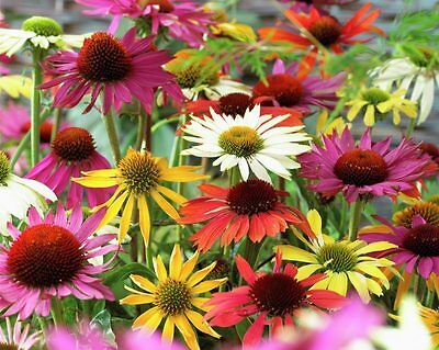 9 Echinacea Coneflower Mixed Hardy Perennial Bare Root Cottage Garden Plants