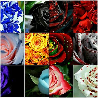 20 x 12 Different Colour Rose Seeds for sale. Total of 240 Seeds