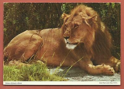 Postcard - Uncirculated....The African Lion