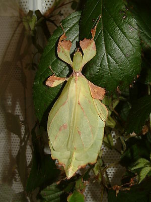 30 Phyllium mabantai Leaf Insect Eggs
