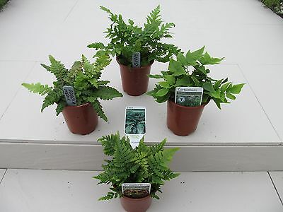 4 Fern Plant Selection~Unusual Potted Ferns~Potted Plants not Plugs, Living Wall