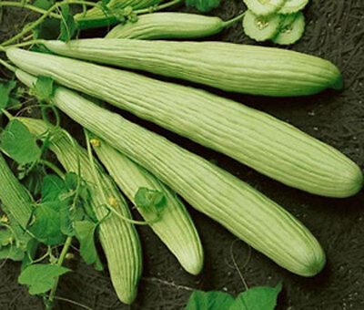 CUCUMBER BURPLESS ARMENIAN YARD LONG Cucumis Melo - 100 Bulk Seeds