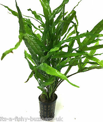 Java Fern Trident  Microsorum Pteropus Pot tropical Live Plant Moss co2