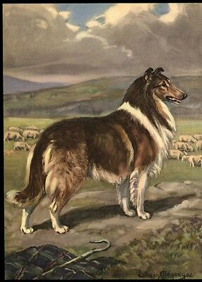 Collie Dog: after a Painting by Edwin Megargee: Authentic 1953 Book Illustration