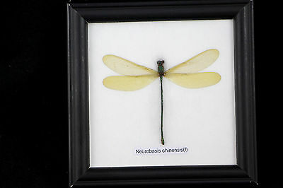 1 Dragonfly Framed Brown Green Black Taxidermy Insect Bug Real Collectible
