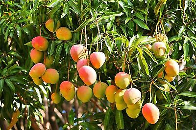 Mango Seed With New Growing. Grow Your Own Mango Tree!