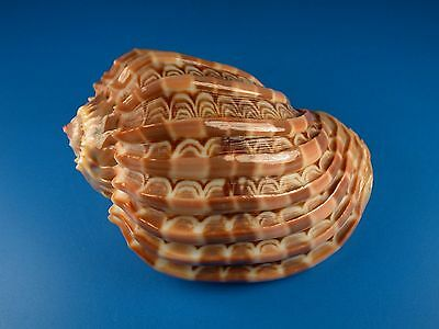 Harpa cabriti, Beautiful Pattern, 87.8mm, Madagascar Shell